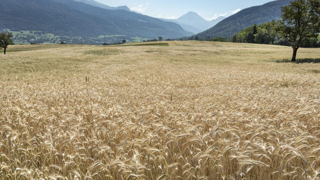 Culture de cereales dans les Bauges